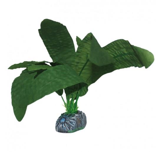 Aponogeton verde 30cm