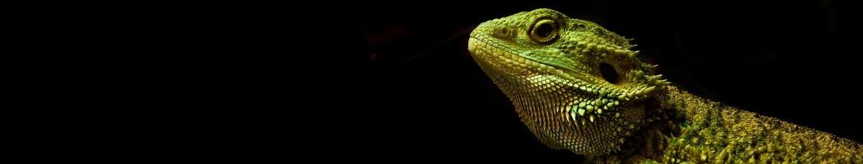 Terrarios iguanas
